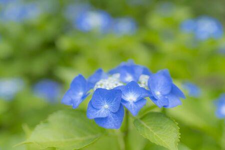 Hydrangea flowers bloom during the rainy season