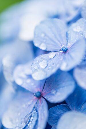 Hydrangea flowers shining in the rainy season