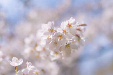Cherry blossoms are blooming at Suginami Tokyo Stock fotó