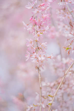 Cherry blossoms and rape blossoms in spring