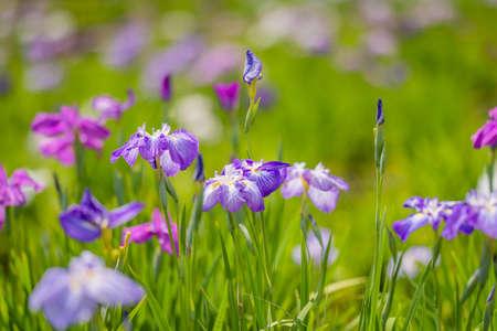 Iris flowers in rainy season
