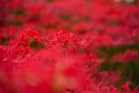 Spider lily flowers with blur background.