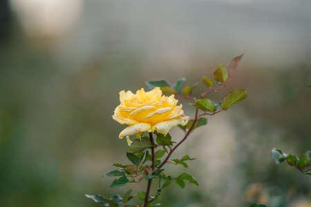 At the rose garden of Jindai Botanical Park