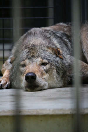 Japanese wolves in the zoo
