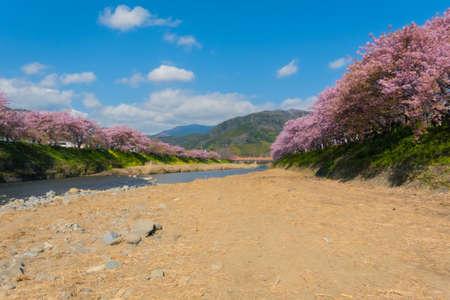 Izu Kawazu Cherry Blossom Festival