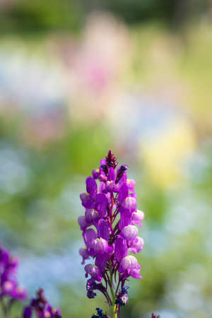 Colorful muscari flowers in the spring park