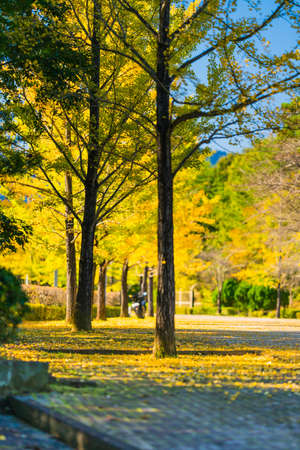 Ginkgo Trees at Chichibu Muse Park