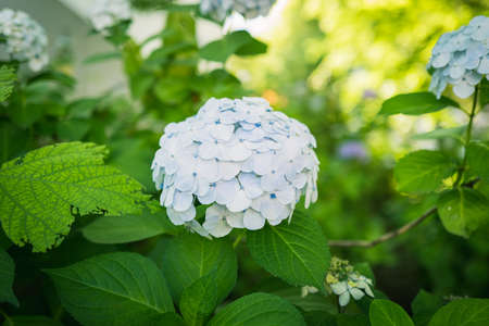 Hydrangea blooming in the park