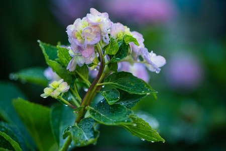 Hydrangeas blooming in Kodaira Hydrangea Park