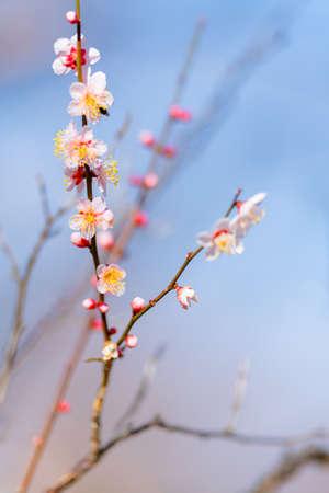 Red plum blossoms in the plum garden of Ko kanai park