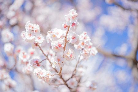 Plum blossoms in Hanegi Park in full bloom in spring