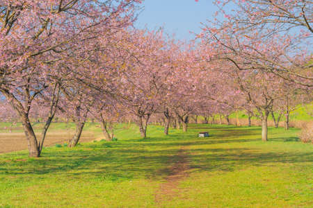 Row of cherry trees in Sakado Kita-Asaha Sakuratsumi Park