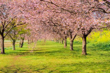 Cherry trees and rape blossoms in Sakado Kita-Asaha Sakuratsumi Park