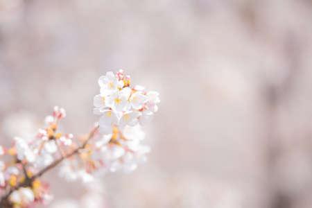Nakano Arai Yakushi's Row of Cherry Trees