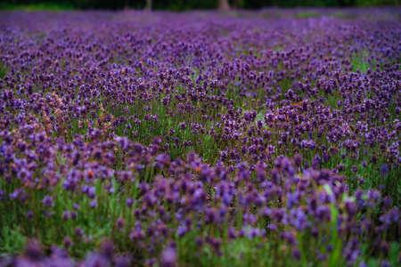 Lavender in full bloom Banque d'images