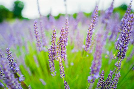 Lavender in full bloom Reklamní fotografie
