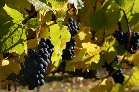 pinot noir: grapes of pinot noir