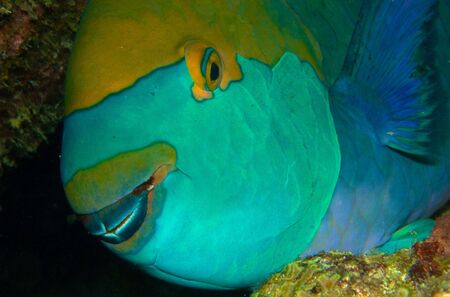parrot fish Stock Photo