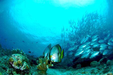 Bat Fish at Sipadan