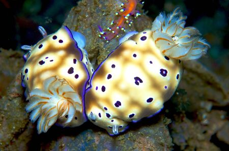 sea slug: nudibranch, sea slug