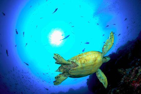 Green turtle, Sipadan, Malaysia Stock Photo