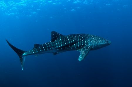 whale shark Stock Photo - 12721869