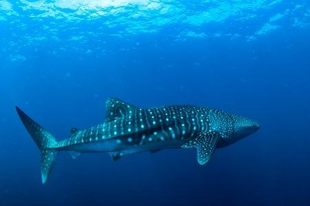sea slug: whale shark Stock Photo
