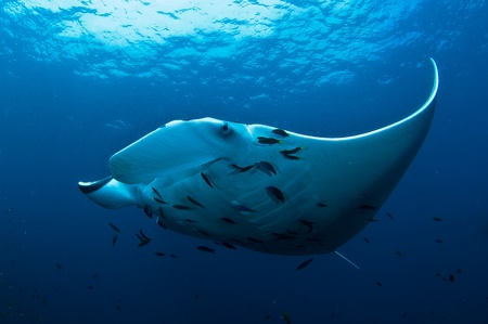 manta ray Stock Photo - 12721848