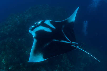 manta ray photo