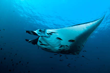 manta ray Stock Photo - 12721860
