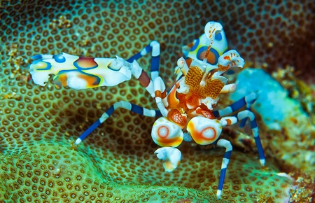 harlequin shrimp photo