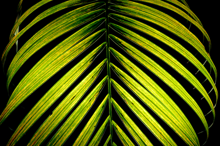 The beauty of the leaves of green palm trees on a black background. Imagens
