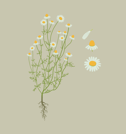 Camomile, chamomile plant with root