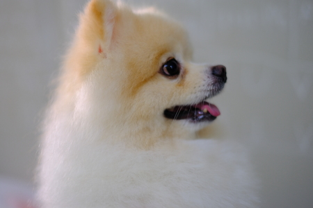 white and brown pom pom Pomeranian dog