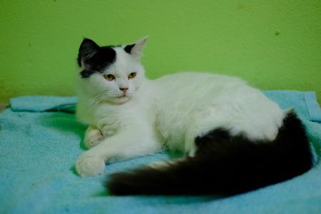 white and black Persian cat sleep Stok Fotoğraf