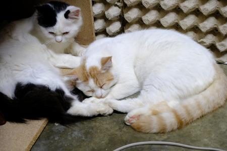 brown white and black Persian cat sleep Stok Fotoğraf