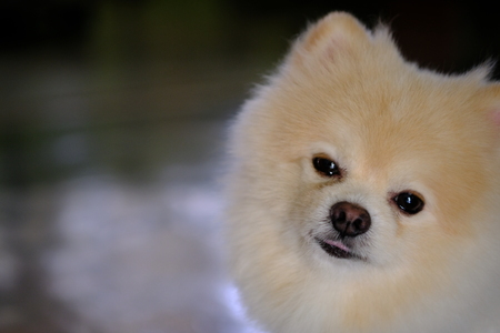 white  Pomeranian portrait dog