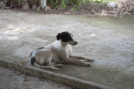 black and white Stray thin dogs in thailand