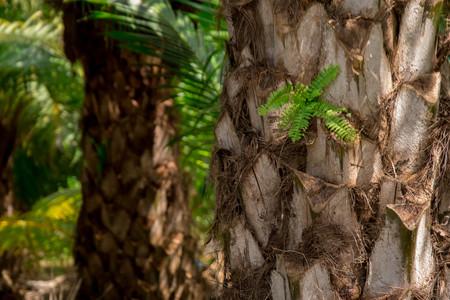 plantation of palm oil tree in farm