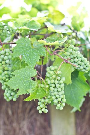 uvas vino: Uvas verdes que maduran en las vides silvestres Foto de archivo
