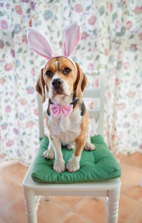 dressed up: Young beagle dressed up as the easter bunny Stock Photo