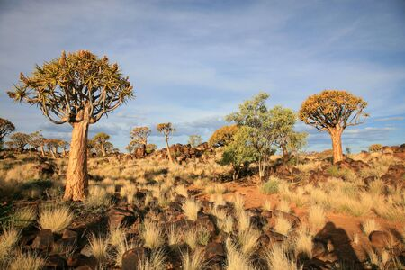 dichotoma: The quiver tree or Aloe dichotoma is probably the best known aloe found in South Africa and Namibia.
