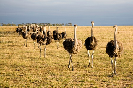 curiousness: Ostriches in South Africa early in the morning somewhere on the Garden Road going to Durban