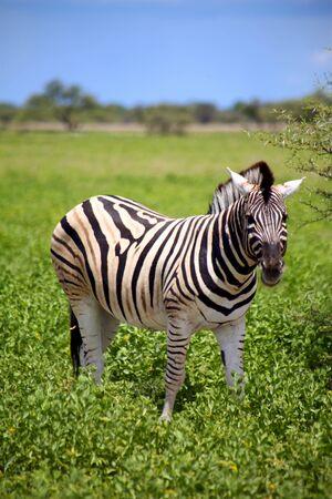 Zebra in Etosha National Game reserve in namibia