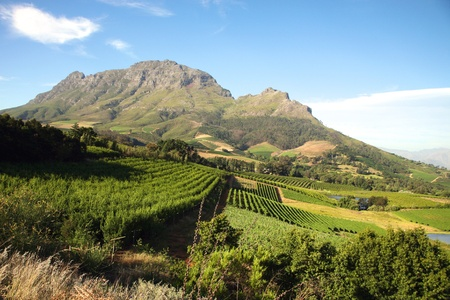 wine road: Panorama of a vineyard in the south of Franschhoek