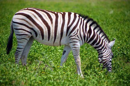 herbivore natural: Zebra in Etosha National Game reserve in namibia