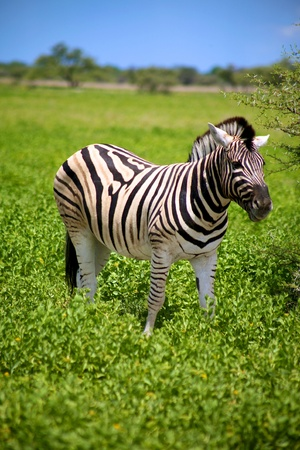 Zebra in Etosha National Game reserve in namibia photo