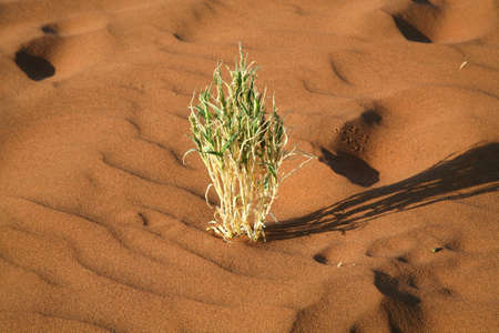 Detail of a plant in Sossusvlei - Namib Desert - Namibia photo