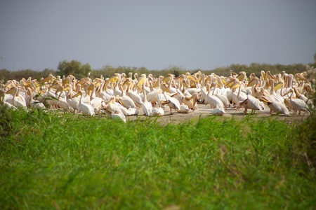 lengthy: Group of pelicans in the Djoudj National park Editorial
