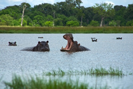 Okavango Delta: Group of hippos sitting in the water rearing  with forest in the background, in Moremi Nature Reserve